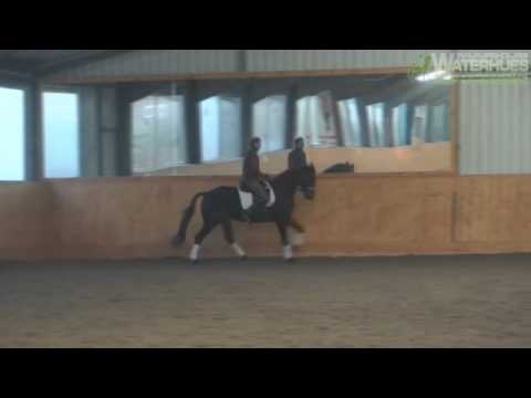 Trakehner Dressage Horse by Summertime MV. Kostolany
