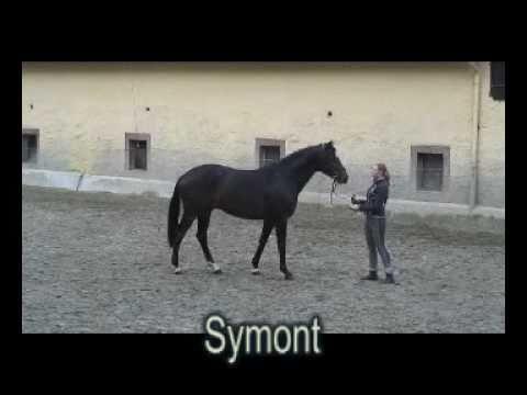 Trakehner Hengst SYMONT von Monteverdi ud StPrSt Syvari v. Kostolany