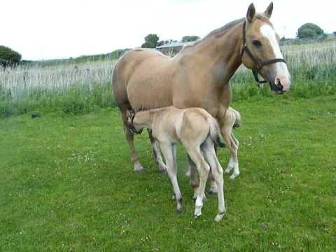 Twin palomino foals trakehner x