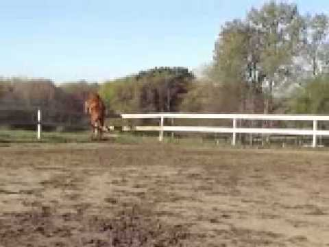 Trakehner Yearling Jumps out of Arena