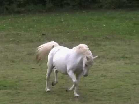 Trakehner-Lipizzan for sale