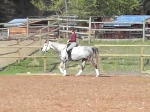 Regulus 2002 Dressage Horse by Magic Domino for sale