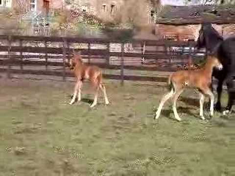 "twin foals ""Glenys and George"""