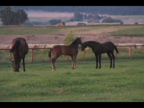 Big Sky Trakehners 2009 Foals at Play