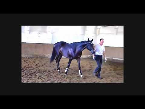 Springpferd – Dressurpferd zu verkaufen – Jumper for sale – Trakehner