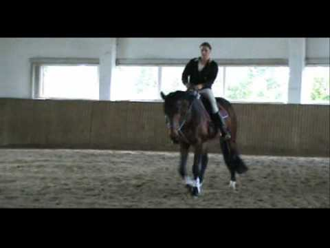 4 years old trakehner Tolstoi for sale