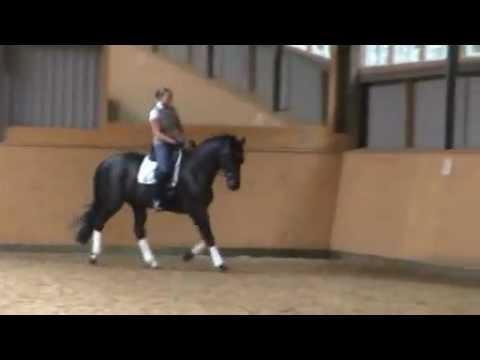 Trakehner Wallach, 5 Jahre, 164cm, Rappe, Dressurpferd