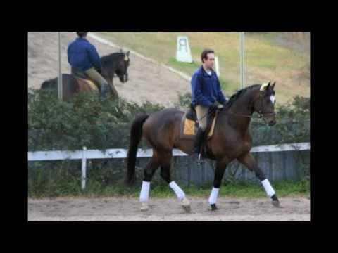 Inamorato Trakehner Stallion
