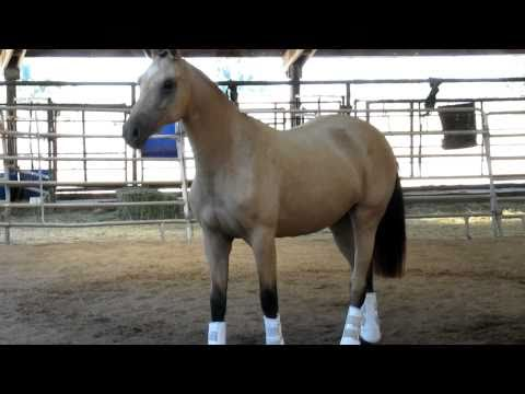 Kona GWF Captivating 2008 Buckskin Dutch Warmblood Trakehner Filly FOR SALE