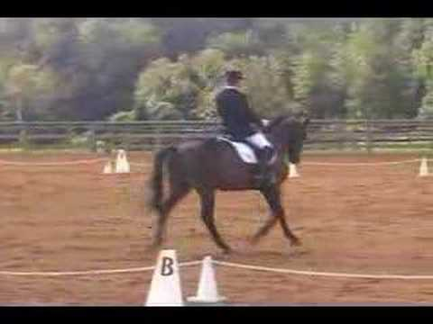 Vinnie 2nd level Dressage Trakehner For Sale part 1