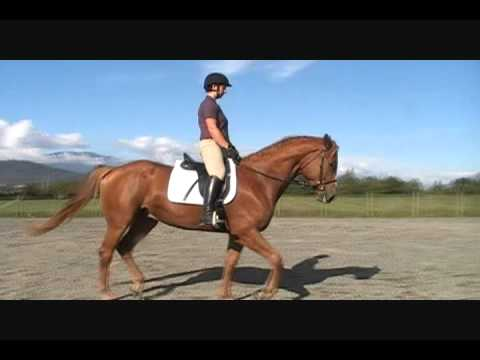 3 yo Trakehner Gelding For Sale