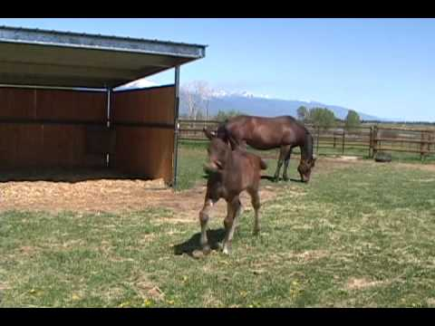 2009 Trakehner Colt by Windfall *Pg* out of Lucie by Enrico Caruso *Ps*E*