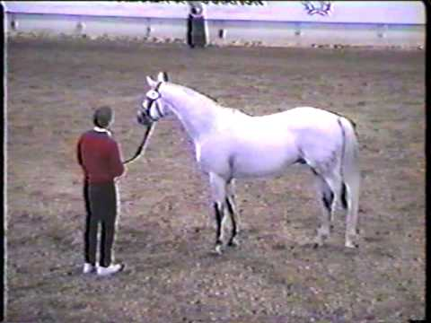Special Memories-Trakehner show jumping stallion at ATA stallion inspection