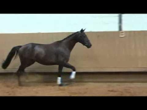 Bonifee Verkauspferd von Herzog x Lehndorff's
