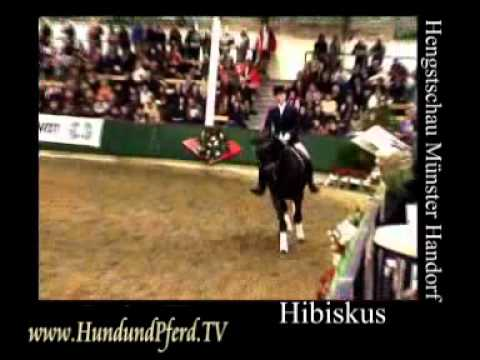Hibiskus Trakehner Hengst Münster Hengstschau Horse Journal International