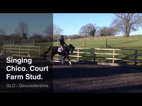 Singing Chico black Trakehner gelding 5 years