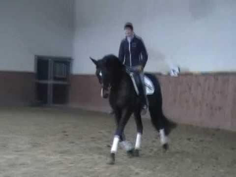 SOLD: young trakehner stallion – rider Joanna Lopko