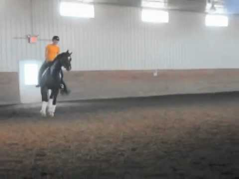Hartman 8 yr old Trakehner by Gribaldi for Sale