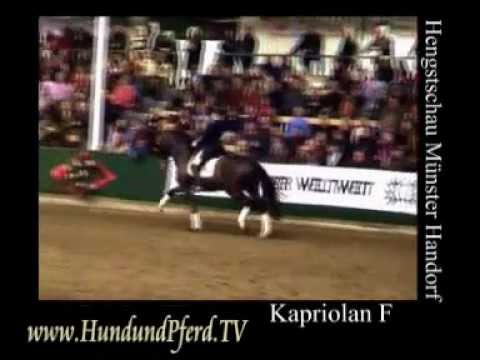 Kapriolan F Trakehner Stallion Hengstschau Münster Horse Journal International