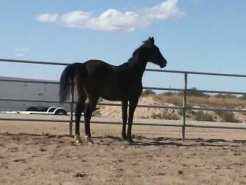 Reflexion-2007 Trakehner filly by EH Lehndorff's for sale