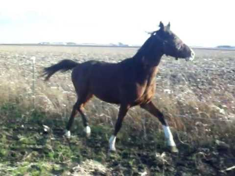 Adoptable 2-year-old Trakehner Playing Outside (#1)