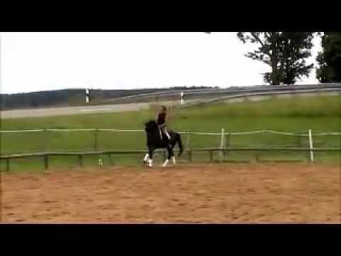 Trakehner Rappe 5-jährig zu verkaufen, elegantes Damenpferd
