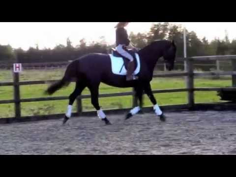 Fitzgerald Soraya Trakehner Mare 4 Year Old by EH King Arthur just Backed For Sale