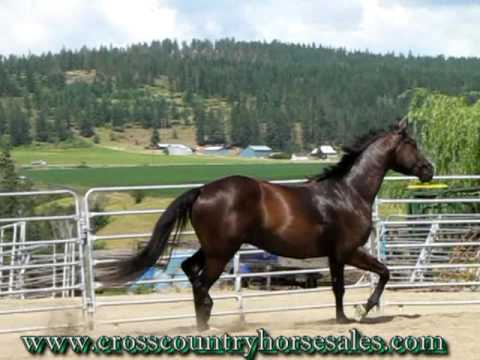Fram 2006 16'2 Trakehner Dressage Horse For Sale