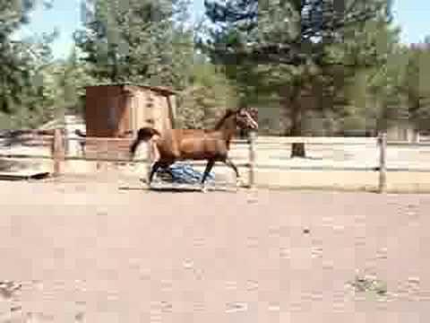 Sedar Arab/Trakehner mare
