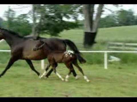 Doo Wap ~ App X Trakehner Sporthorse Colt FOR SALE