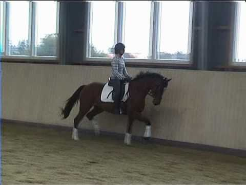 4 year old trakehner mare by Pricolino for sale