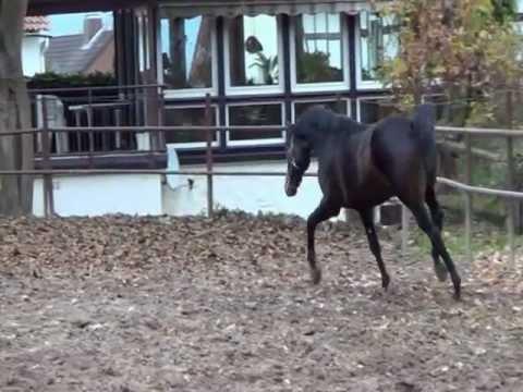 2,5 jähriger Trakehner Hengst von Cadeau x Seeräuber