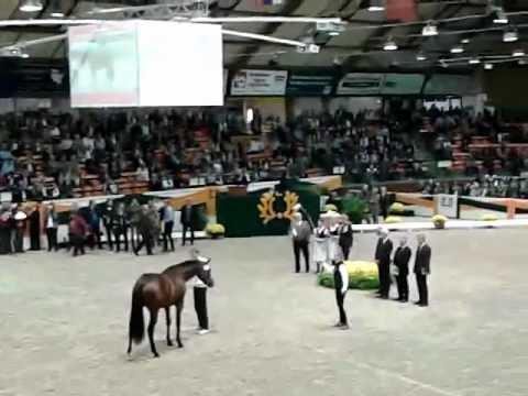 Reservesieger Guardian Trakehner Hengstmarkt 2012