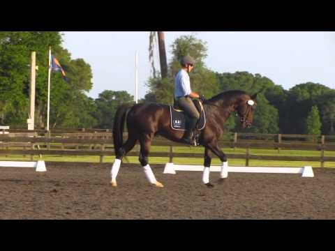 Inamorato Trakehner Stallion (Buddenbrock/Fontainbleau)