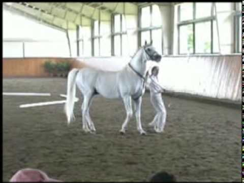 Special Memories, trakehner show jumping stallion at Hanoverian inspection (springen hengste)