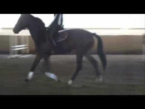 trakehner stallion Tolstoi