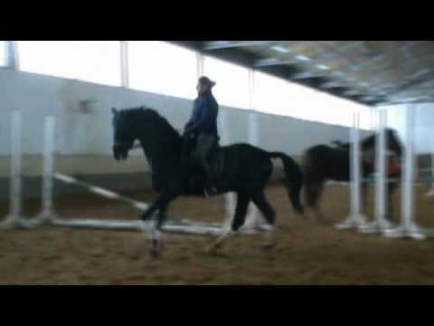 5-y.o. Trakehner Stallion for Sale
