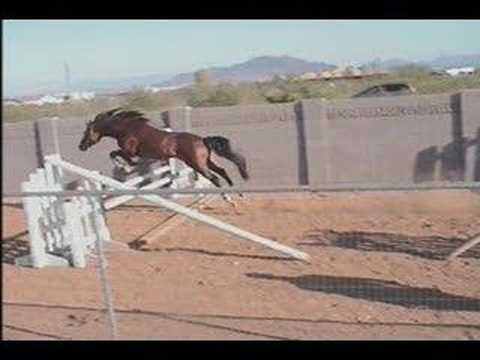 Khat aba+ USDF Dressage Arab/Trakehner Stallion Free Jumping