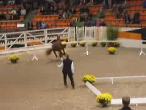 Rusticus, Trakehner stallion by Favoritas xx – Bartholdy