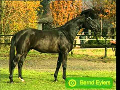 Latimer – Trakehner stallion
