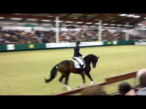 Herbstbach : Trakehner stallion born 2007