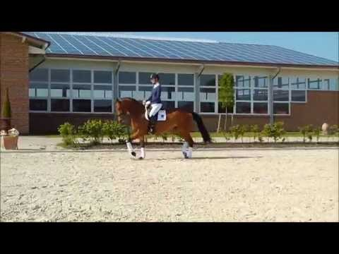 Barani – Braune Trakehner Stute – Gestüt Brodersdorf – Verkaufspferd
