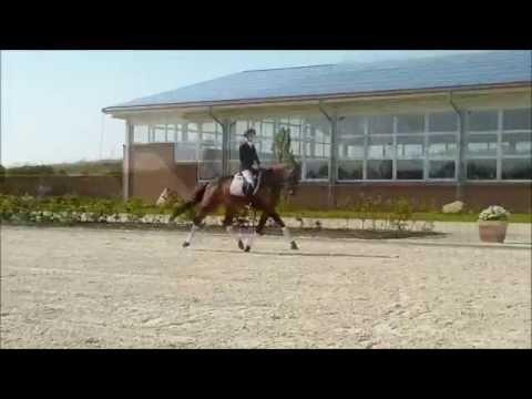 Baxter – Brauner Trakehner Wallach – Gestüt Brodersdorf – Verkaufspferd