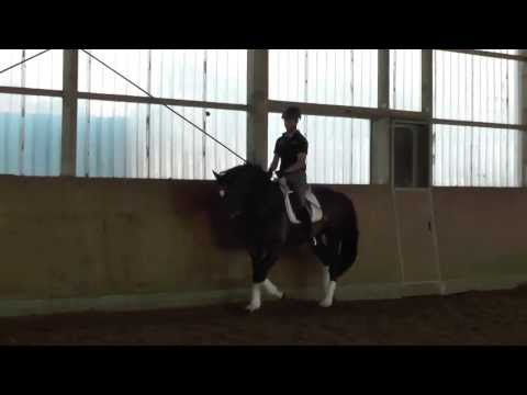 Frederic Fahrenheid Trakehner stallion