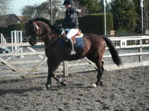 TRAKEHNER PURE BRED For sale
