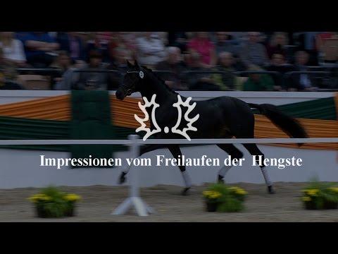 Impressionen vom Freilaufen der Hengste – Trakehner Hengstmarkt 2014