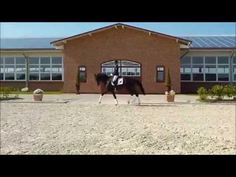 Kosmo le Beau – 3 jähriger Trakehner Wallach – Verkaufspferd