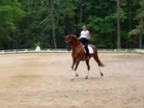 Tango; Trakehner Horse in trot