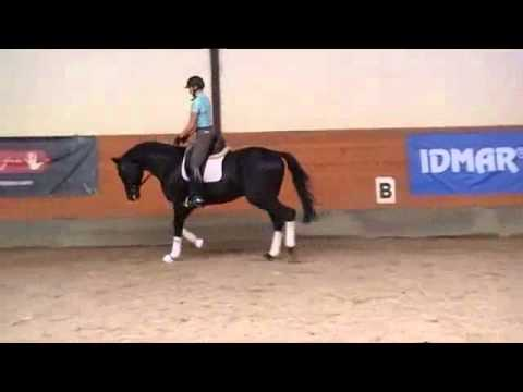 SOLD to Finland – Excellent Black Trakehner stallion
