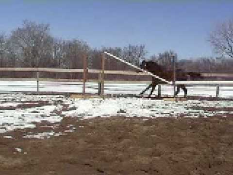 Trakehner stallion Prelude By Mozart free jumping